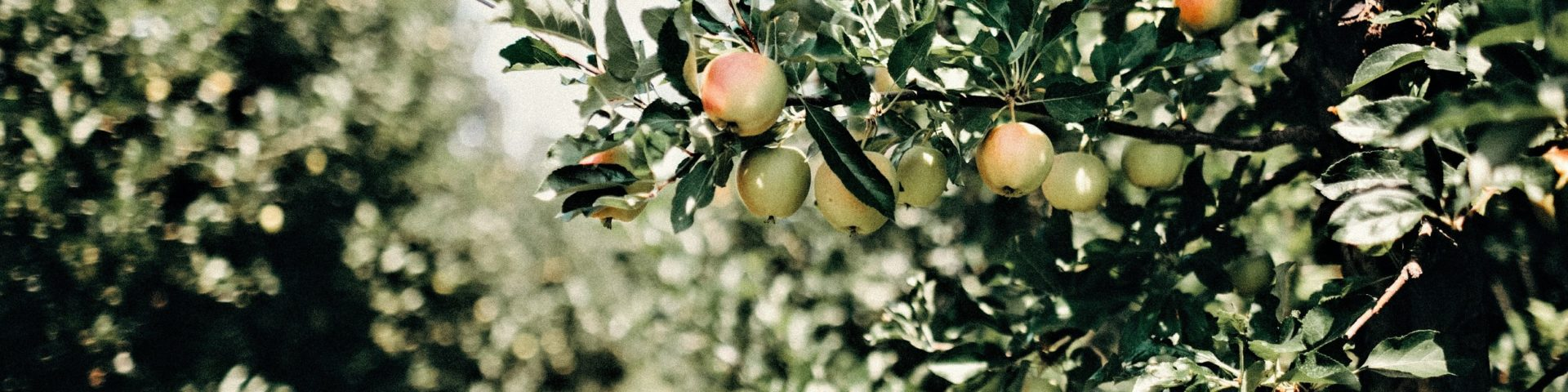 apple tree branches with apples